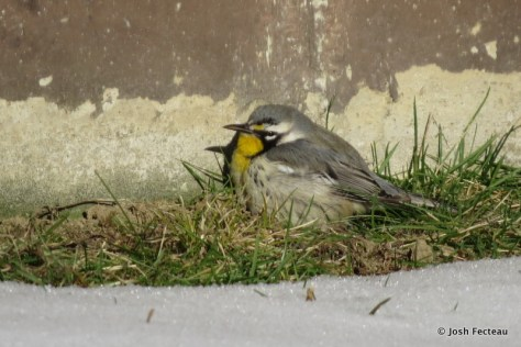 Photo of Yellow-throated Warbler