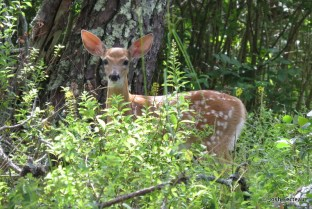 Photo of White-tailed Deer fawn