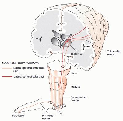 Neurology Today - spinothalamic tract