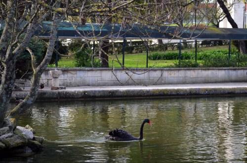 Черный лебедь в парке парке Эдуарду VII
