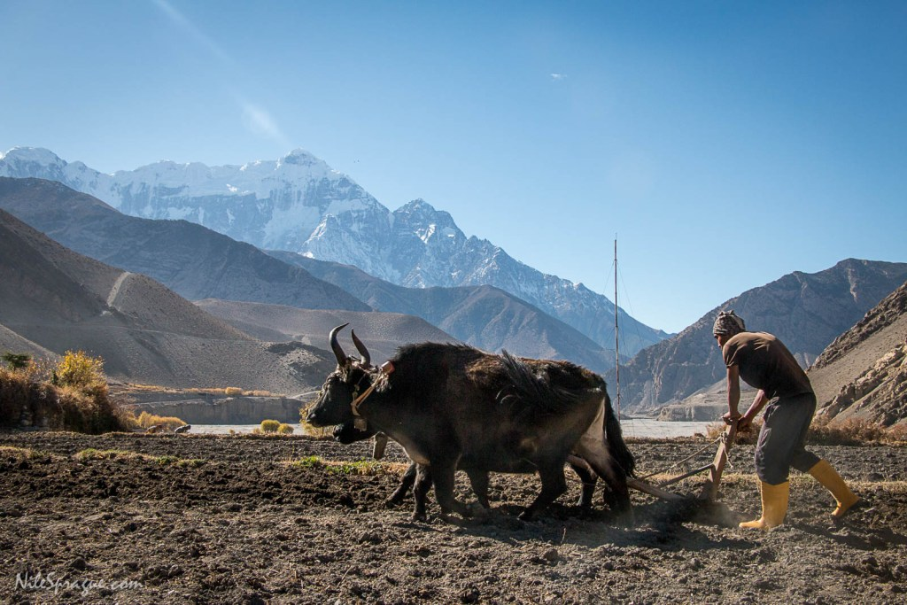 Man plowing field with dzomos, a cross between a yak and domestic cattle, with Nilgiri South (22,568 feet) in the background, Kagbeni, Lower Mustang. Cell tower in background. Despite the remote, mountainous location of the village, cell coverage is abundant, bringing connection with the broader world.