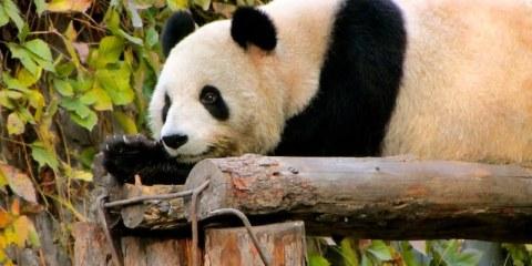 The original Kung-Fu Panda