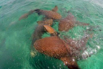 Nurse sharks in Caye Caulker, Belize