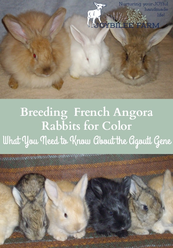 Breeding French Angora Rabbits for Color, What You Need to Know