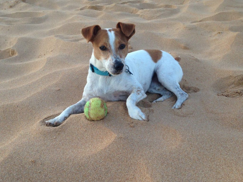 Rescue Dogs Puppies For Adoption Jack Russell Rescue Saving Jacks Since 1993