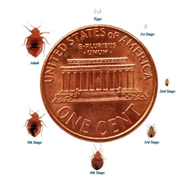 Is this a bedbug? \u2013 The CO2 Bedbug Trap