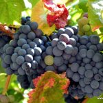 Drums and Purple Feet: Grape Harvest in the Douro Valley