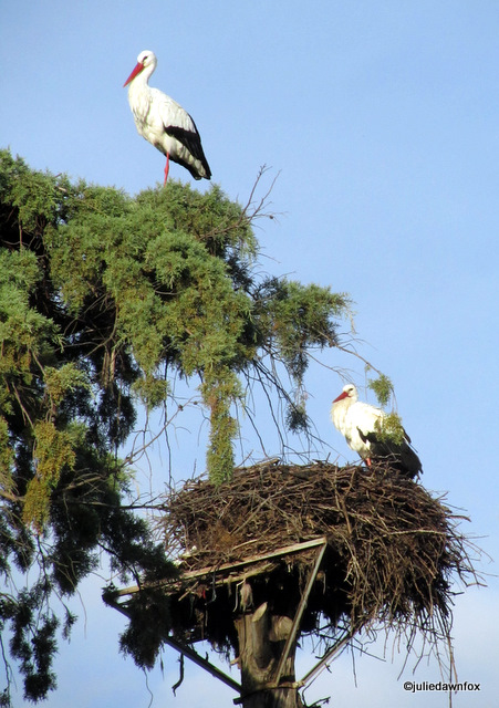 two storks in a tree