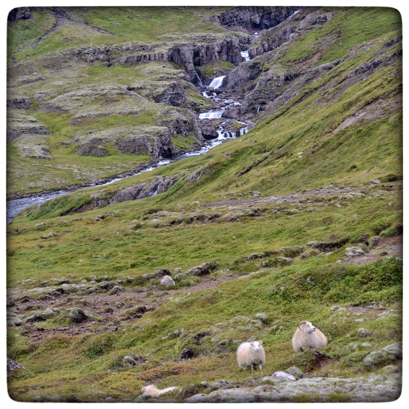 Sheep in East Iceland