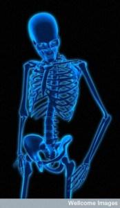 B0007402 Human Skeleton