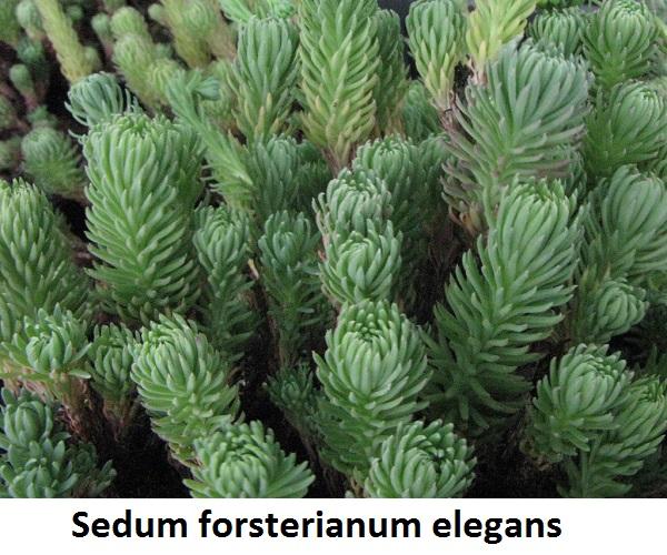 Sedum forsterianum elegans Image