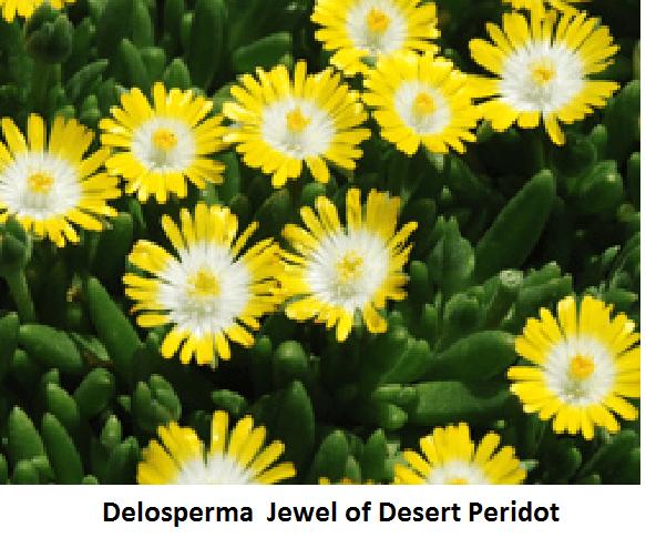 Delosperma cooperi