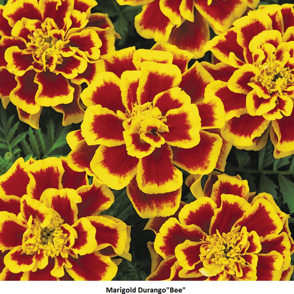 Marigold Durango Image