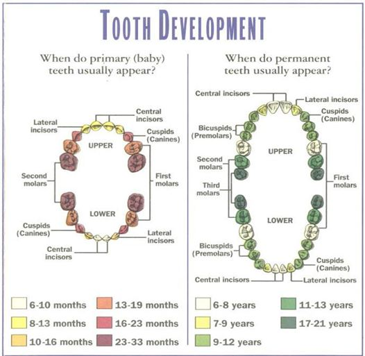 Tooth Development