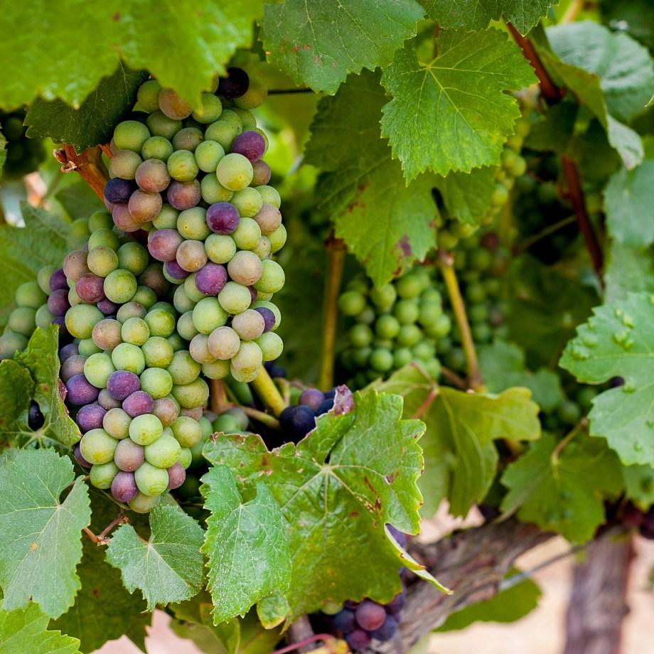 Pinot Noir Grapes Vine