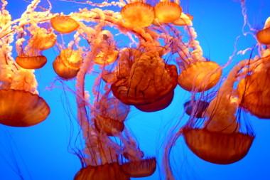 Fish Wallpaper Hd Obligatory Photo Of The Orange Jellyfish At The Monterey