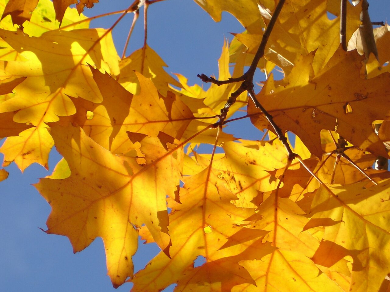 Birch Tree Fall Wallpaper Close Up Plant These Trees For Spectacular Fall Color 183 Just Savor It