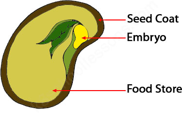 Germination What Is Germination Seed Germination For Kids