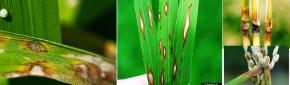 ধানের জমিতে ব্লাষ্ট হলে কৃষকদের করনীয় সম্পর্কে কৃষি অফিসের উপদেশ