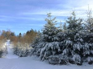 Sapins et neige au Danemark