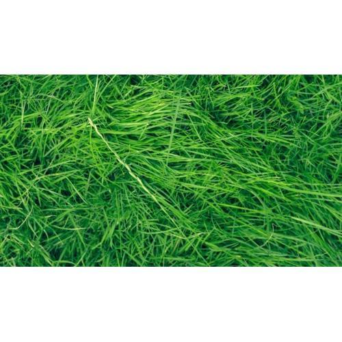 Medium Crop Of Uc Verde Buffalo Grass