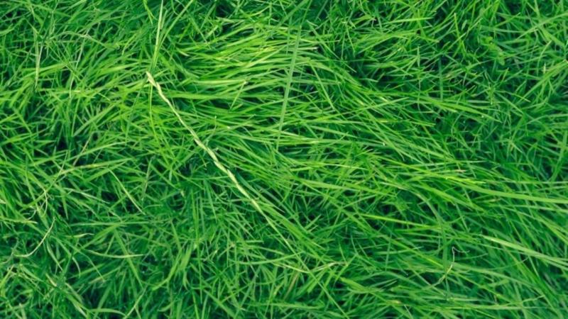 Large Of Uc Verde Buffalo Grass