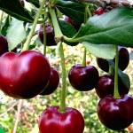 Как правильно ухаживать за сладкой вишней?
