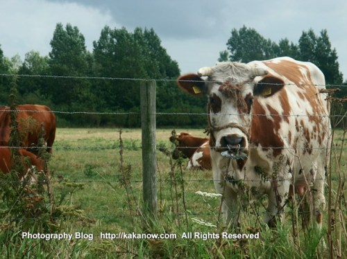 The Netherlands car drive travel, Holland countrside cattle farm, Photo by KaKa.