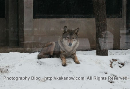 China Beijing Zoo, spring snow in March. Wolf. Photo by KaKa.