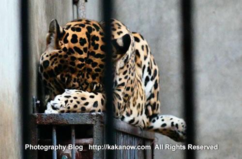 Sleepy leopard in China Beijing Zoo. Photo by KaKa.