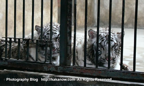 Young white tiger brothers, China Beijing Zoo. Photo by KaKa.