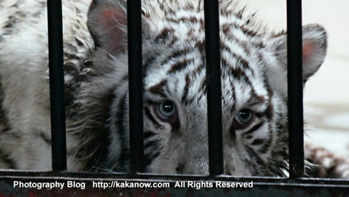 Young white tiger, China Beijing Zoo. Photo by KaKa.