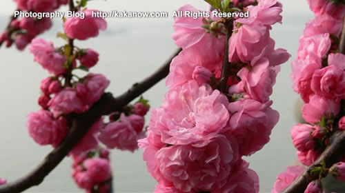 The spring of Beijing Yiheyuan, China, peach blossom, Photo by KaKa.