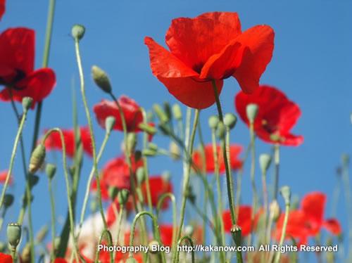 Elegant corn poppy flower in southern France in spring. Photo by KaKa.
