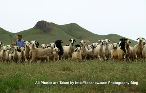 China travel, Inner Mongolia, Horqin Prairie, Goats. Photo by KaKa.