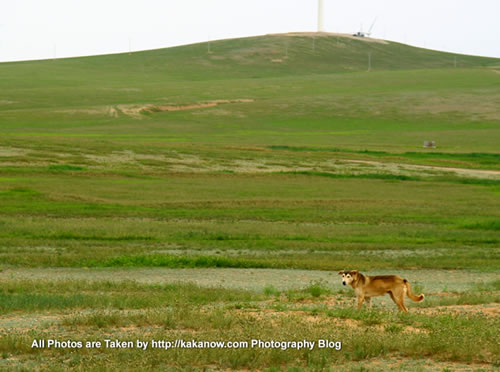 China travel, Inner Mongolia, Horqin Prairie, Shepherd Dog. Photo by KaKa.
