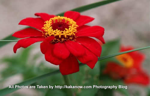 China travel, Inner Mongolia, a red flower in Gegen Temple. Photo by KaKa.