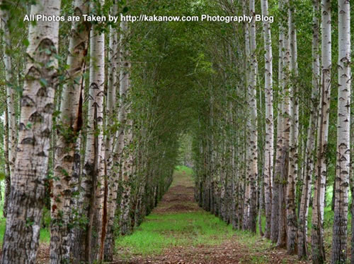 China travel, Inner Mongolia, Horqin prairie, beautiful birch forest. Photo by KaKa.