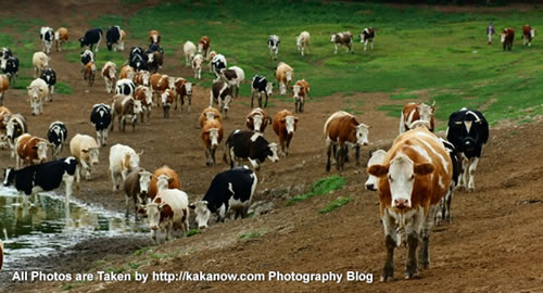 China travel, Inner Mongolia, dairy cow. Photo by KaKa.