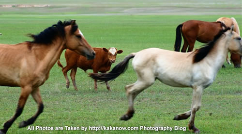 China travel, Inner Mongolia, Horqin prairie, horses and cattle. Photo by KaKa.