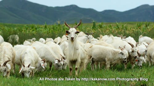 China travel, Inner Mongolia, Horqin Prairie, goats flock. Photo by KaKa.