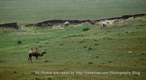 China travel, Inner Mongolia prairie, camels. Photo by KaKa.