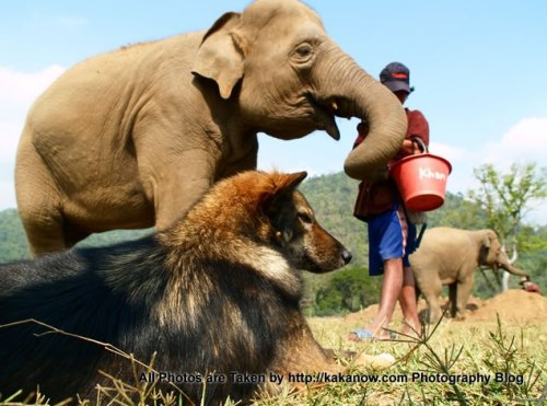 Thailand travel, Chiang Mai, in an elephant camp, a stray dog and an elephant. Photo by KaKa.