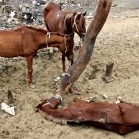 Лошади умирают от голода