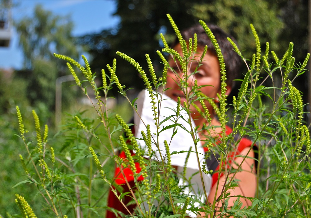 Ragweed is Blooming All Over in Kansas City