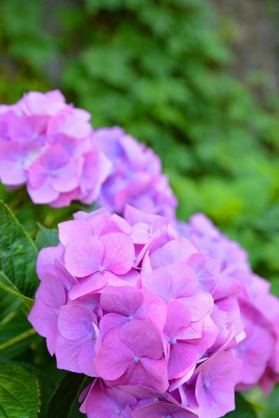 道端の紫陽花②(さときち)