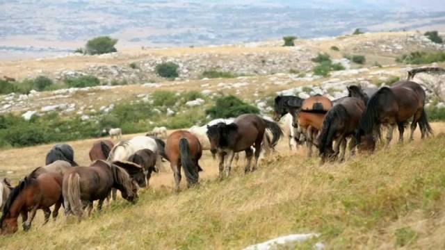 livanjski divlji konji 2