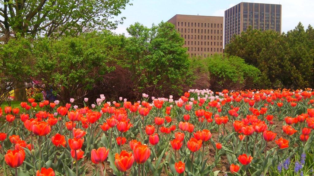 Összesen 300 ezer tulipán van elültetve az ottawai Commissioners Parkban. Fotó: Christopher Adam/KMH.