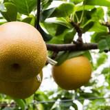 Nashi, las peras japonesas en Chiba ken