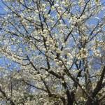 開花宣言!北鎌倉散歩で春の花を撮影してきました